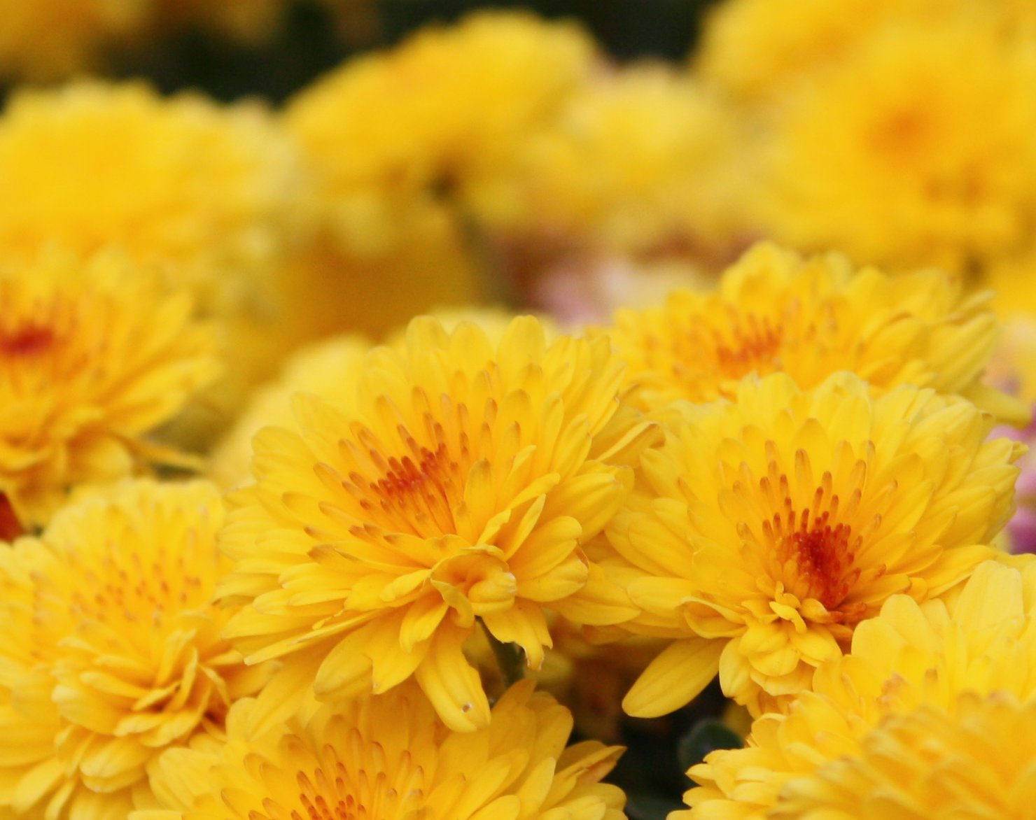 Quotes About Chrysanthemums 41 Quotes