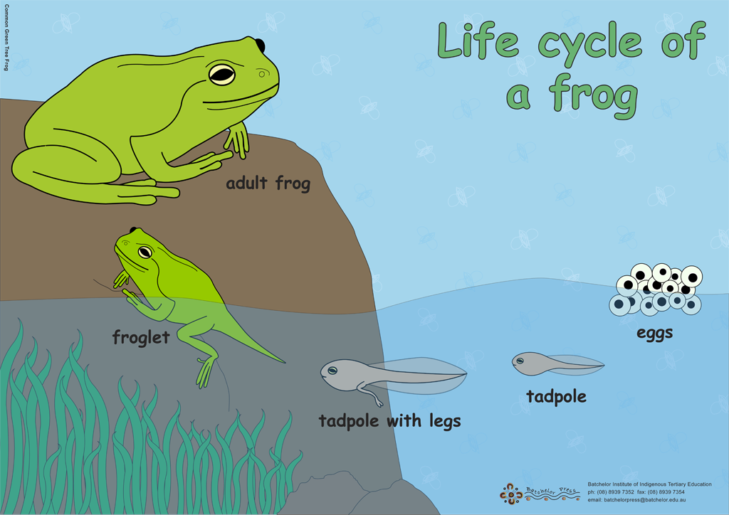cycle of a frog