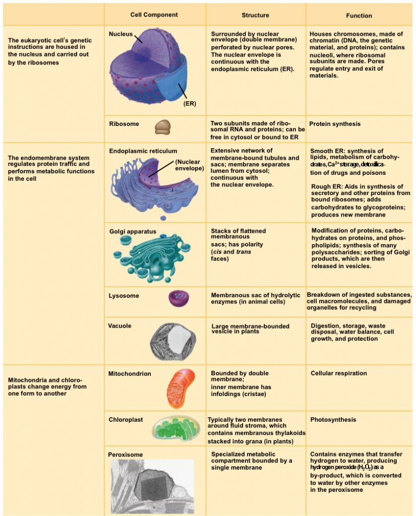 Cell and its organelles worksheet