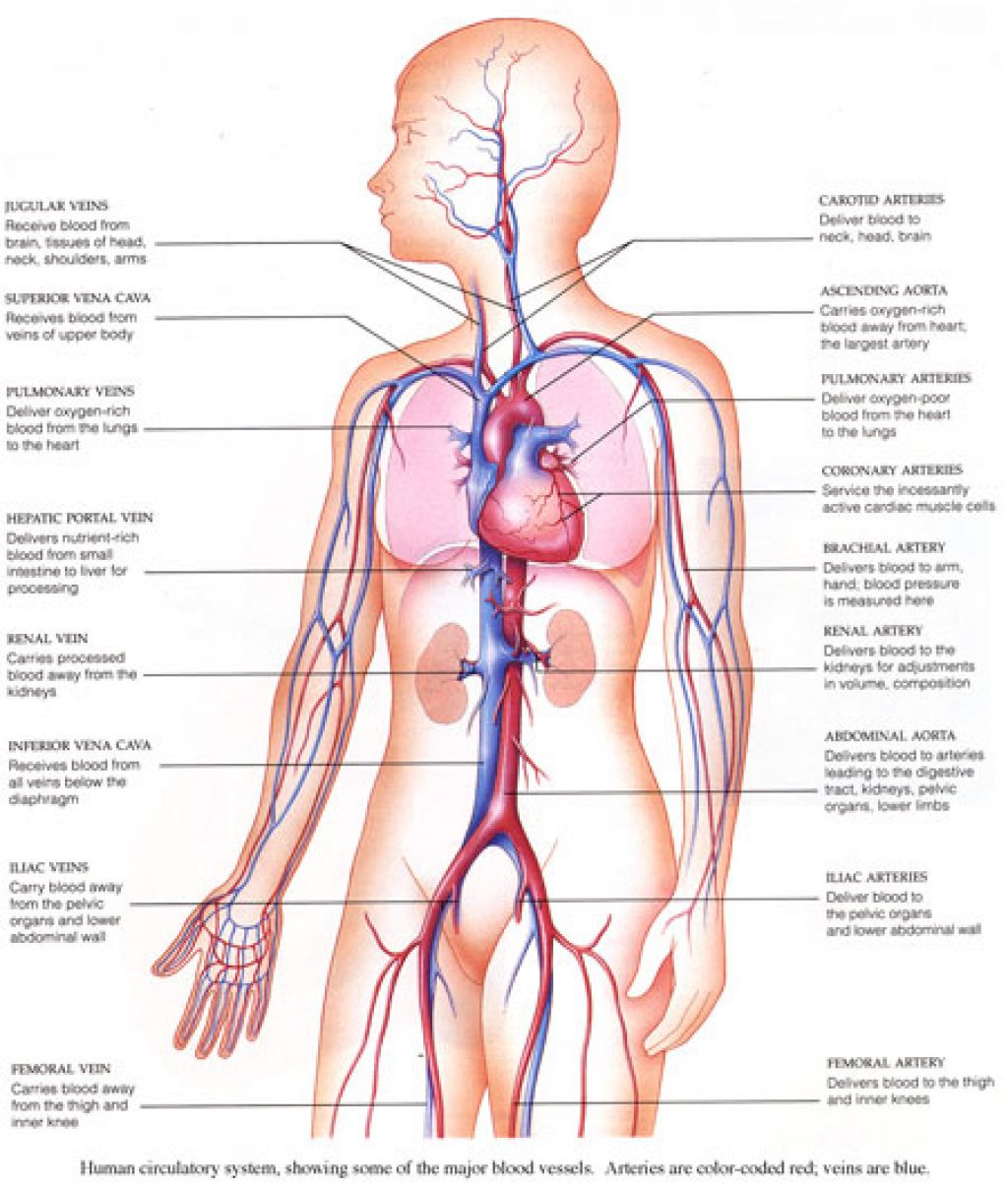 Quotes About Circulatory System 32 Quotes