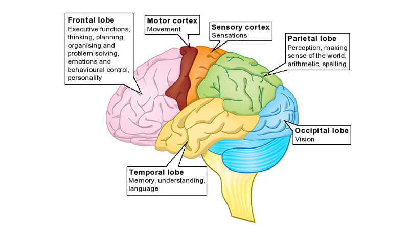 Parts Of The Brain And What They Do Parts Of The Brain And...