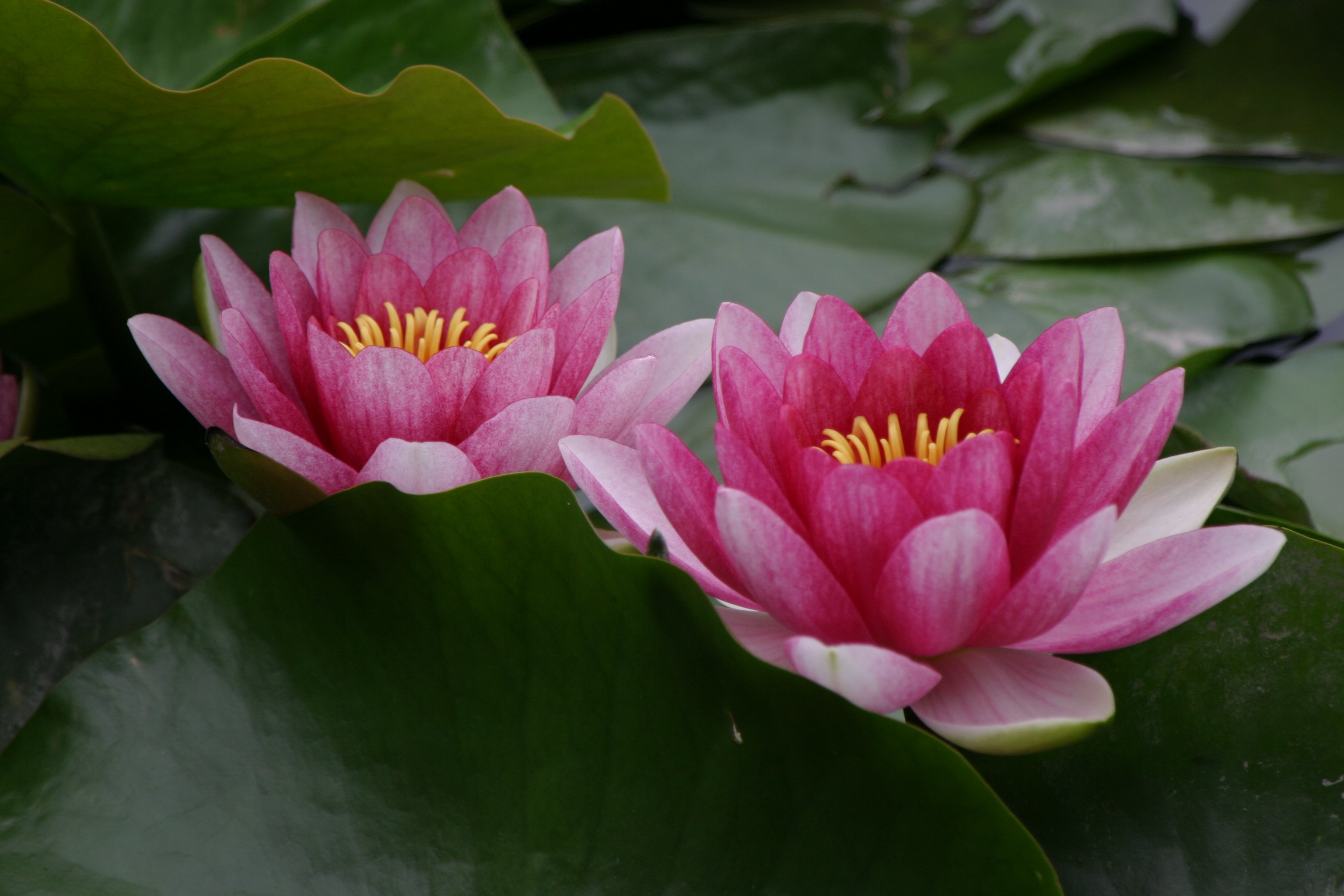 Quotes About Lotus Flower 33 Quotes