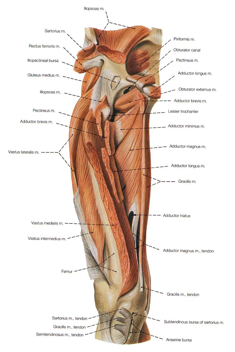 Iliopsoas bursa anatomy