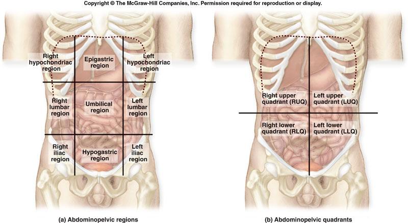 abdomen and ventral body cavity