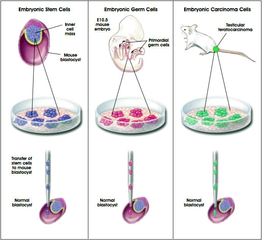 a discussion on the controversial issue of the use of embryonic stem cells in the purpose of researc Embryonic stem cell research is the controversy over the use of embryos the final chapter of this particular debate about embryonic stem cells.