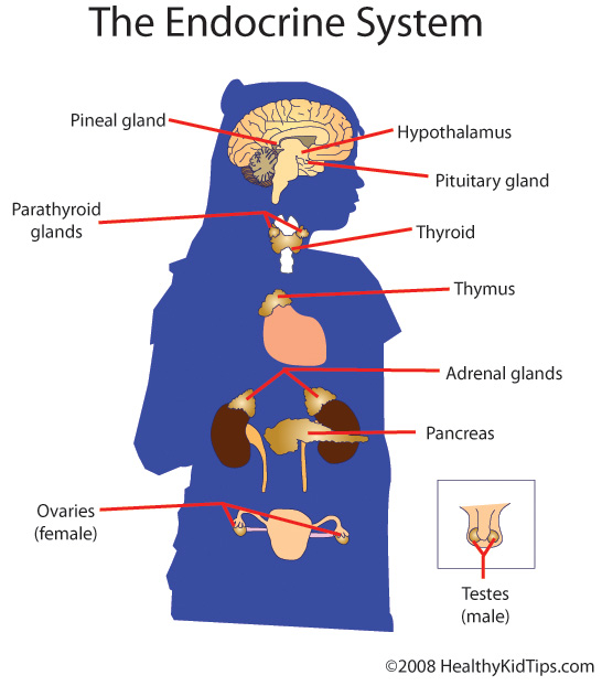 Quotes About Endocrine System 33 Quotes
