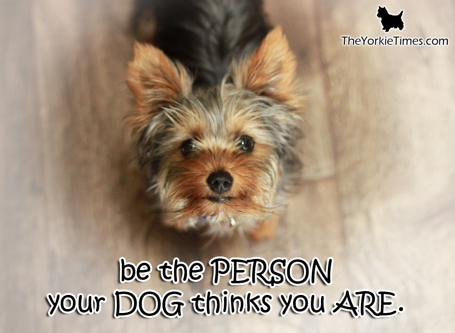 Quotes About Yorkshire Terrier 26 Quotes