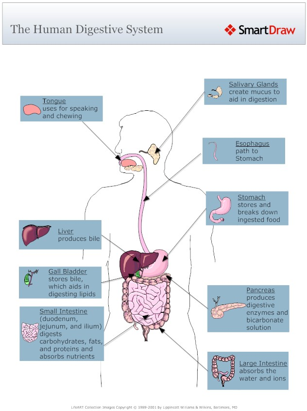 the digestive system essay Digestive system name institution affiliation the digestive system the digestive arrangement refers to the gastrointestinal tract which constitutes of a hollow continuous tube that begins at the oral cavity and closes at the anus (moini, 2010.