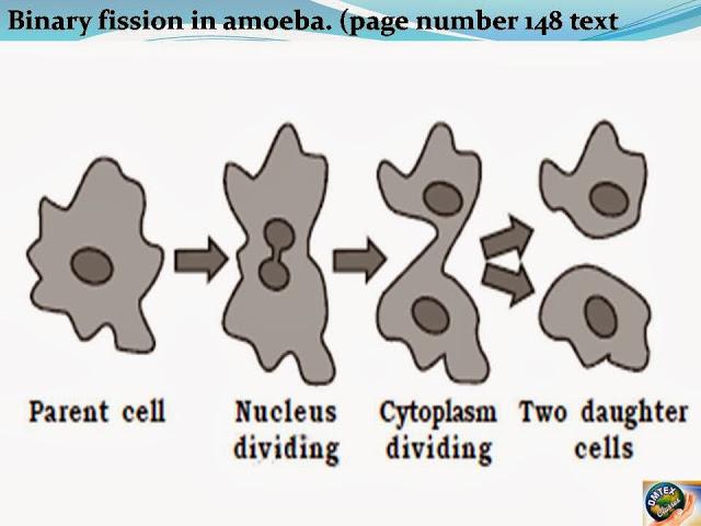Bytup Binary Fission In Amoeba Diagram 236463410 2018