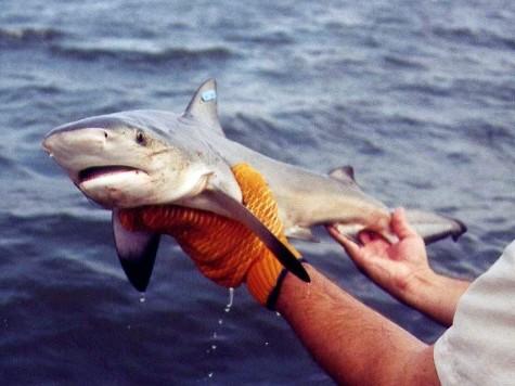 Great white shark pups