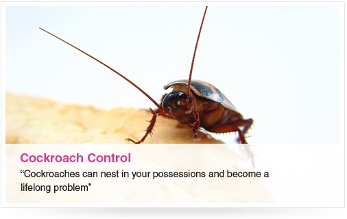 cockroach analysis Cockroach cock roach (kok' roch') n any of an order of nocturnal insects, usually brown with flattened oval bodies, some species of which are household pests inhabiting kitchens, areas around water pipes, etc (spanish – cucaracha.