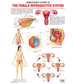 HUMAN BODY CHART 23 