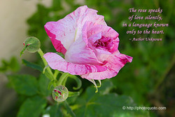 The rose speak' 