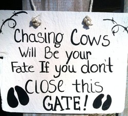 Cha-Bing cows 