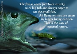 The fish is never free from anxiety, 