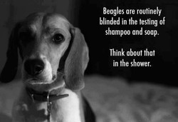 Beagles are routinely 