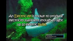 An Electric eel is Kraun to produce 