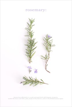 rosemary: 