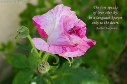 'The rose speaks 