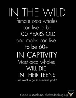IN THE WILD female orca whales can live to be 100 YEARS OLD and males can live to be 60+ IN CAPTIVITY Most orca whales WILL DIE IN THEIR TEENS .still want to go to a marine park? it's time to speak out. bluefreedomblog.org