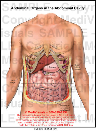 Abdominal Organ Placement Diagram Trusted Wiring Diagram