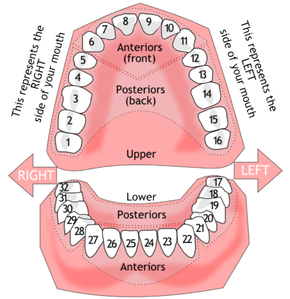Dental mouth diagram diy wiring diagrams quotes about dental insurance 21 quotes rh quotemaster org dental cavity diagram dental diagram tooth numbers ccuart Gallery