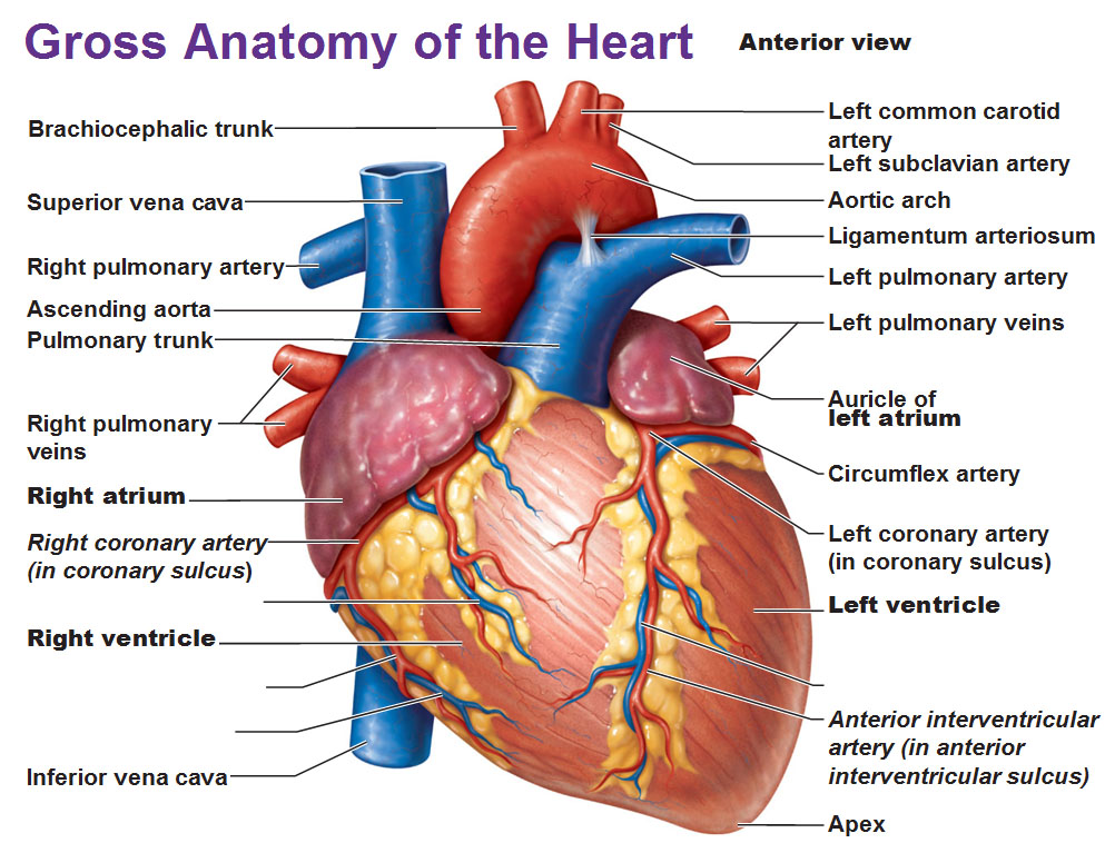 Quotes about Gross anatomy (25 quotes)