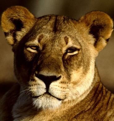 Quotes about Lioness (42 quotes)