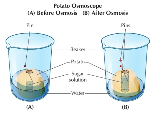 osmosis in potato cells 1 In b osmosis took place because there was a difference in the water potential between cavity of thepotato and the water in the petridish and plasma membrane of potato cells was living which causedosmotic inflow of water to the cavity in c, there was no solute molecules to enable osmatic flow ofwater from the petridish to the potato cavitynote.