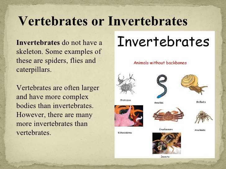 information about vertebrates and invertebrates These invertebrate animals have their body covered by an external skeleton classifying vertebrates and invertebrates for kids - freeschool.