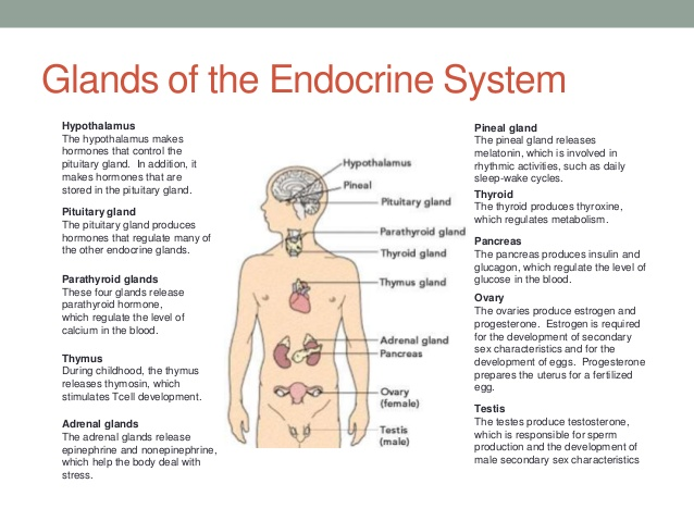 Endocrine System Is A Major Role Coursework Help