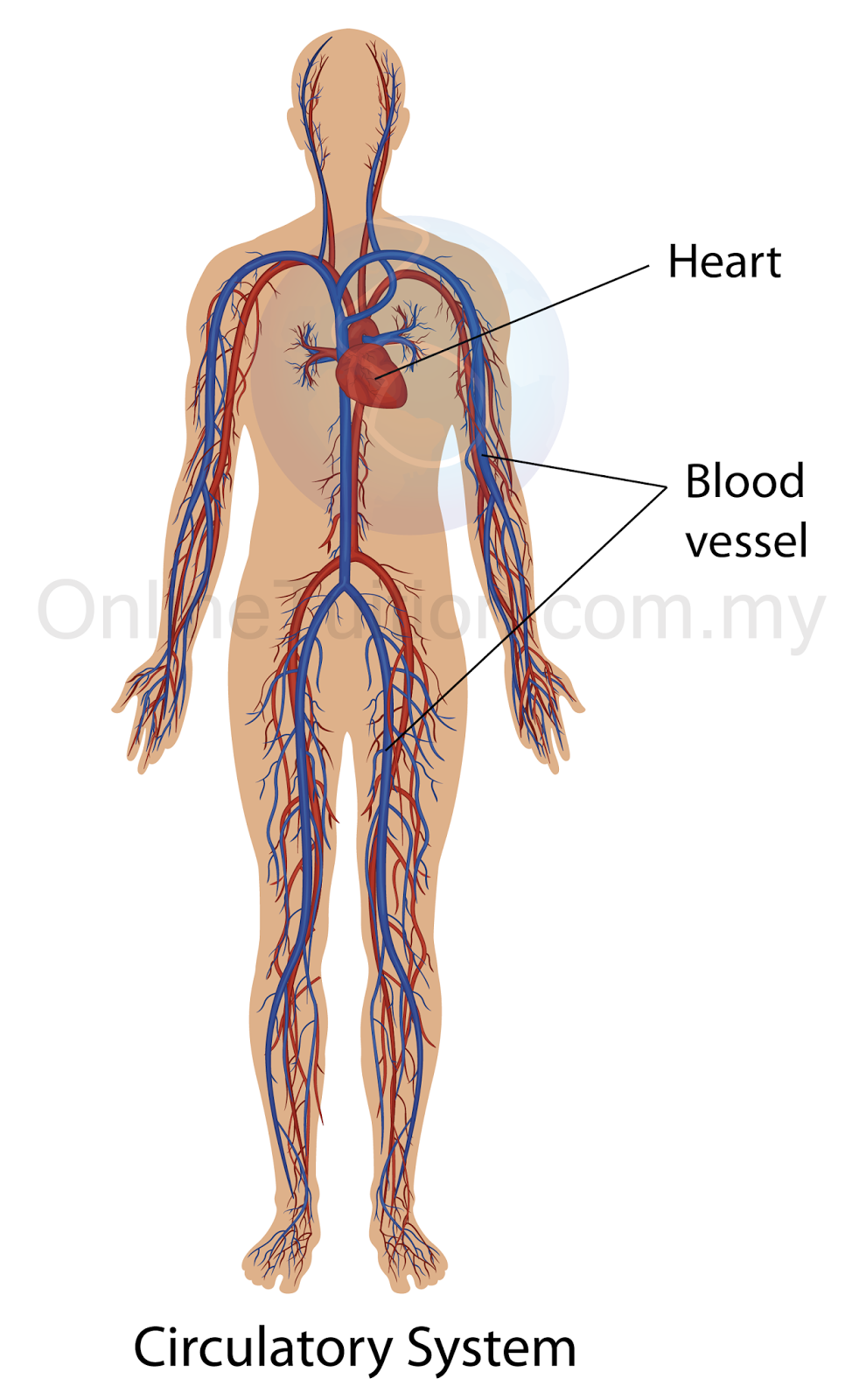 Quotes About Cardiovascular System 39 Quotes