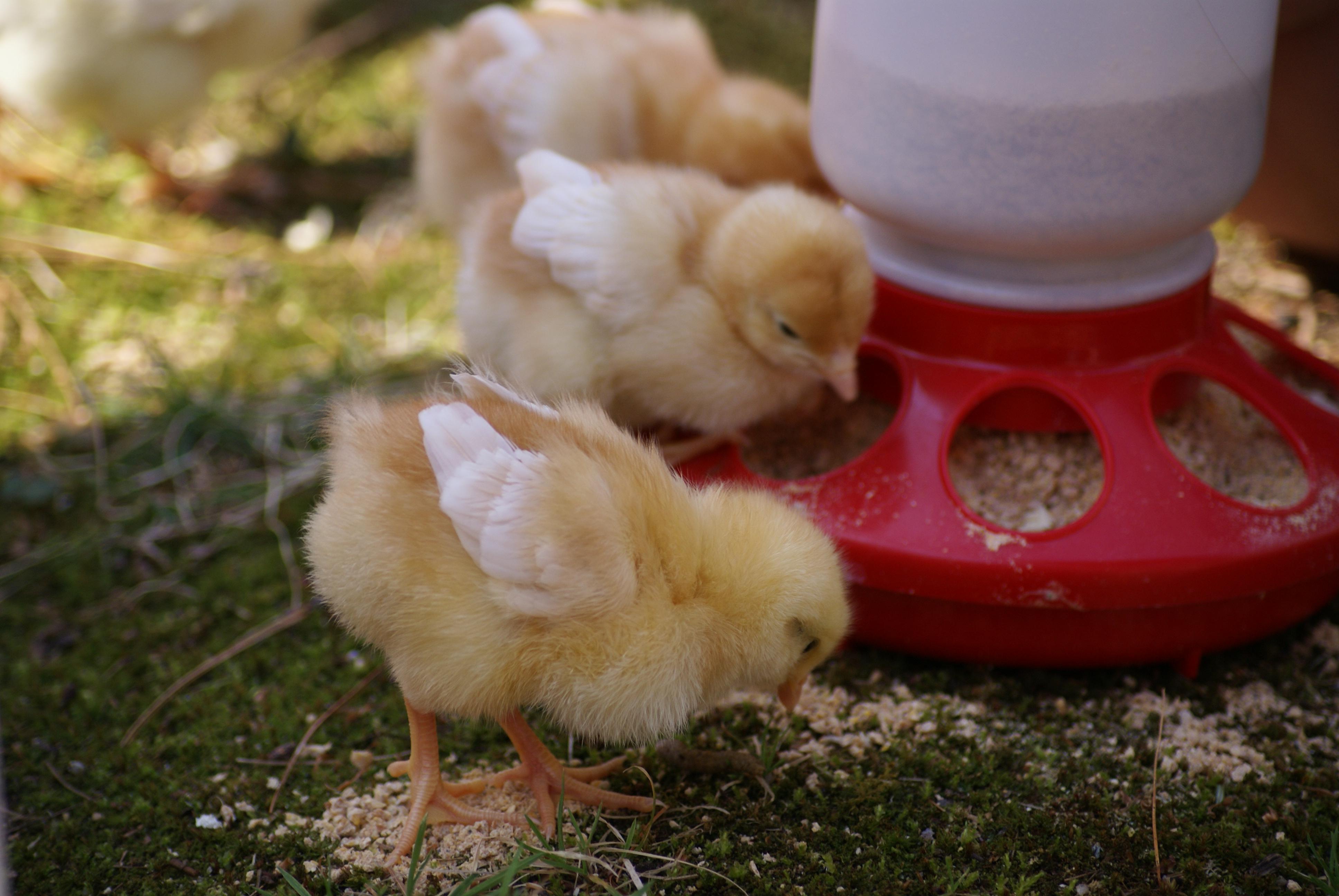 желаю, картинки зерен для цыплят расположен