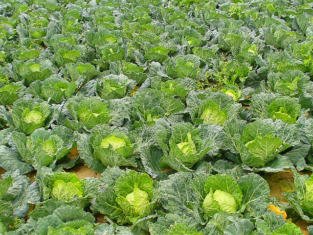 agri sba cabbage production essay
