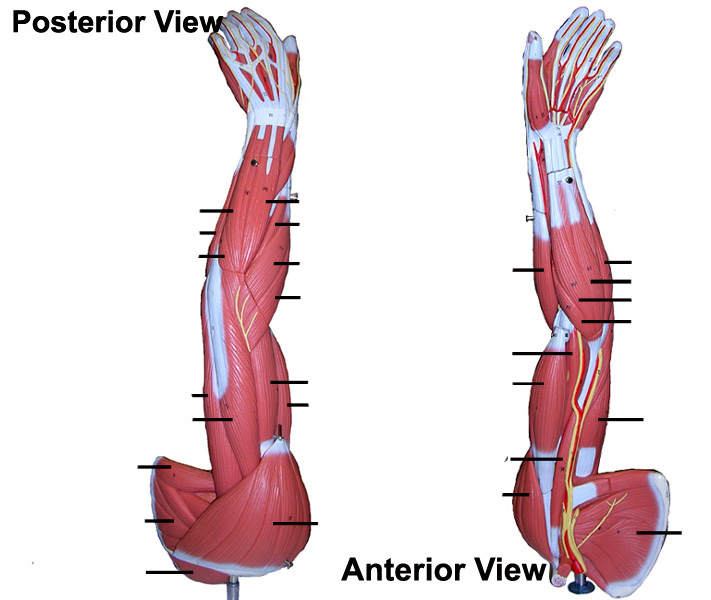 Quotes about Arm muscles (22 quotes)