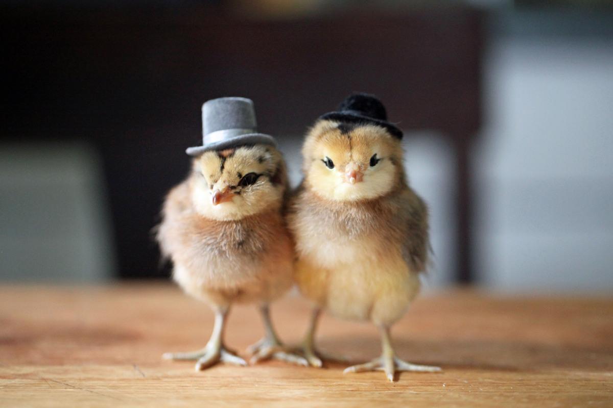 Цыпленок прикольные картинки, открытки гнедковой картинка