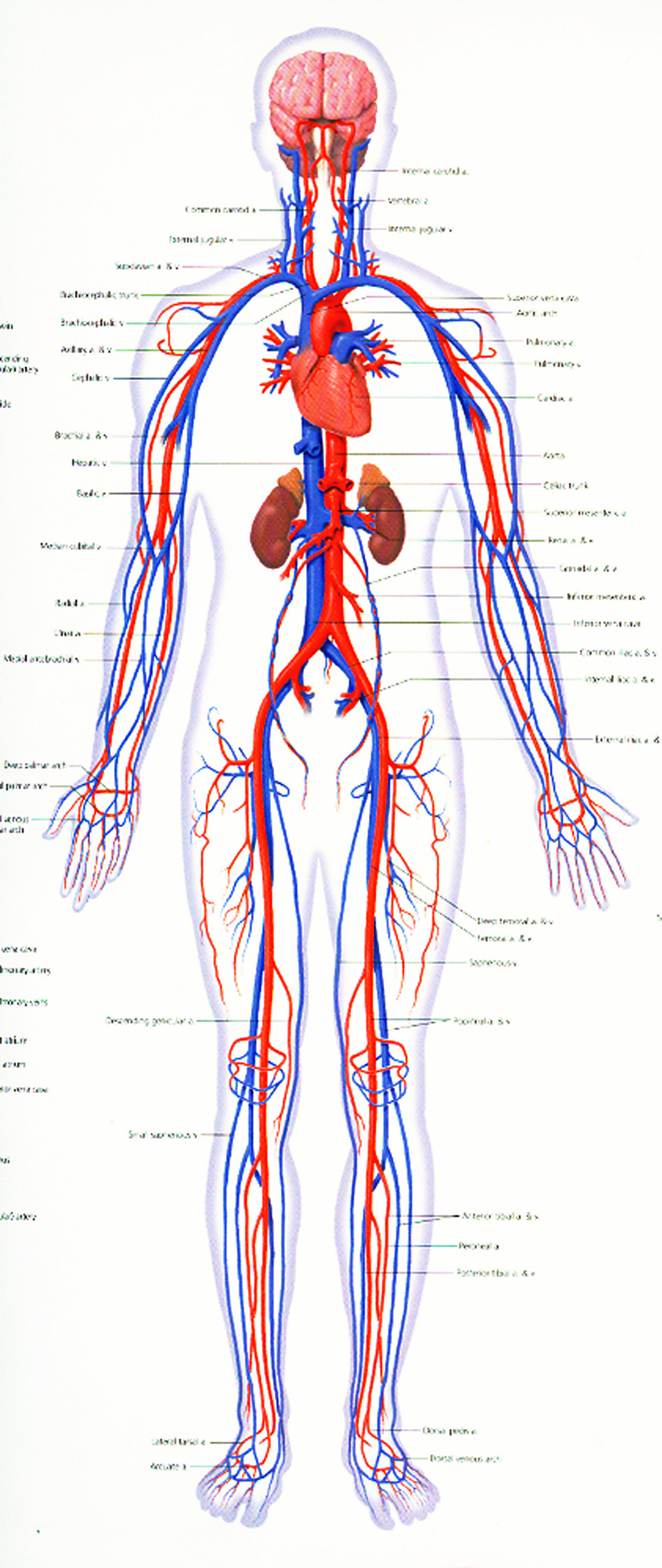 Quotes about Cardiovascular system (48 quotes)