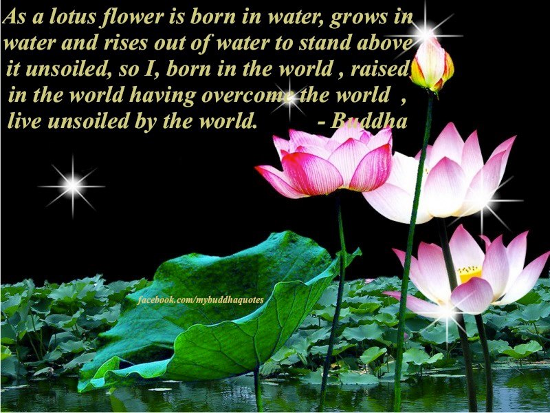 Quotes about Lotus Flower (33 quotes)