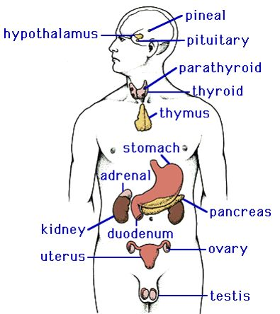 Enchanting Endocrine System Diagram Labeled Ornament Anatomy And